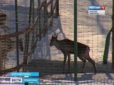 Северный олень спустя 100 лет возвращается в нижегородские леса