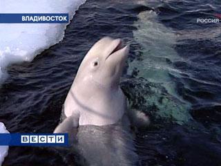 Дельфинов травят фенолом