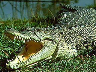 ...2010, 21:01Королев. просмотров. зарегистрируйтесь.  Крокодилы.