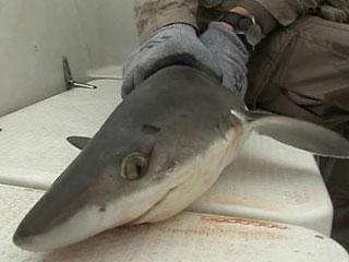 В Приморье - небывалое нашествие акул-катранов.