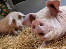 В Белгородской области обнаружена АЧС, в Ростовской - птичий грипп